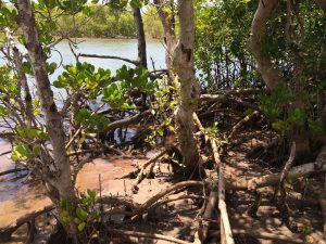 More Mangrove Trees by Robinson Island