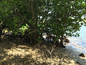 Mangrove vegetation water side