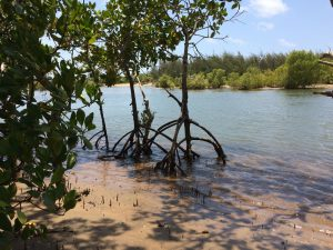 Skinny Mangrove trees with cool roots in water