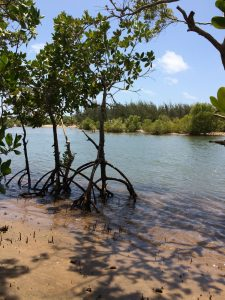 Skinny Mangrove tree with cool roots